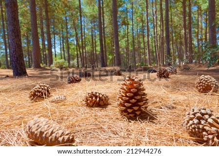 Cedar cone on needles in a pine forest in summer. Image made in HDR technique. - stock photo
