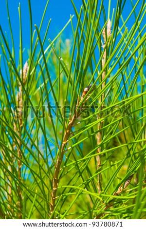 Cedar needles - stock photo