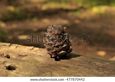 cedar pine cone on a fallen tree trunk in the Siberian taiga. food for forest animals