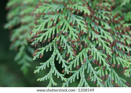 Cedar Tree Branches - stock photo