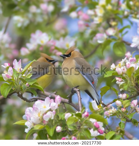 Cedar waxwing big as a watermelon, focus on bird - stock photo
