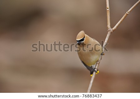 Cedar Waxwing (Bombycilla cedorum) on branch. - stock photo