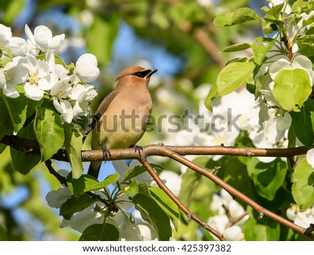 Cedar Waxwing Feasting on Crab Apple Blossoms in Spring - stock photo