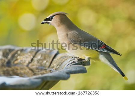 Cedar Waxwing in Louisiana - stock photo