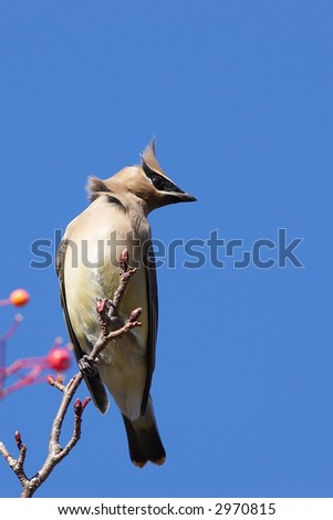 Cedar Waxwing in tree - stock photo