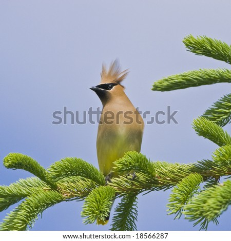 Cedar Waxwing, latin name - Bombycilla cedrorum - stock photo