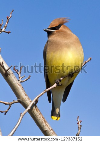 Cedar Waxwing On Small Branch - stock photo