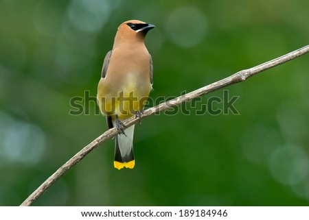 Cedar waxwing perched on a branch. - stock photo