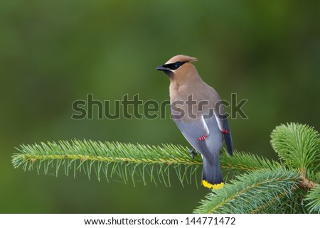 Cedar Waxwing perched on branch - stock photo