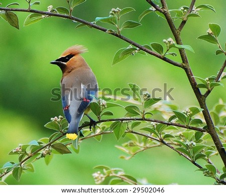 Cedar Waxwings Perched on Branch - stock photo