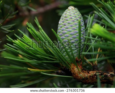 Ceder cone on a branch - stock photo