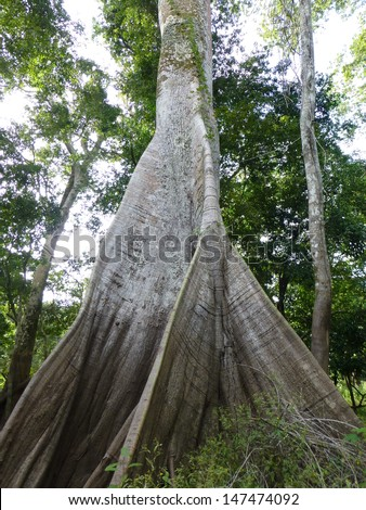 Ceiba pentandra in Portuguese Samauma  (Ceiba pentandra)  the largest tree in the Amazon Rainforest. Good to see the mark of the last flood on the tree. - stock photo