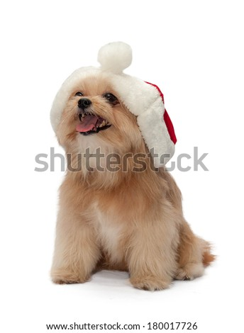 celebrate christmas with cute mixed breed dog in christmas hat isolated in white background with clipping path