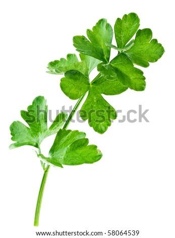 Celery isolated on white - stock photo