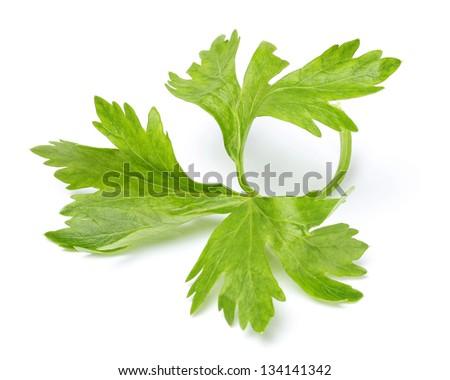 Celery Leaves Isolated on White Background - stock photo
