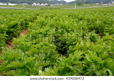 Celery plantation in the vegetable field with water-supply pipe, Japan