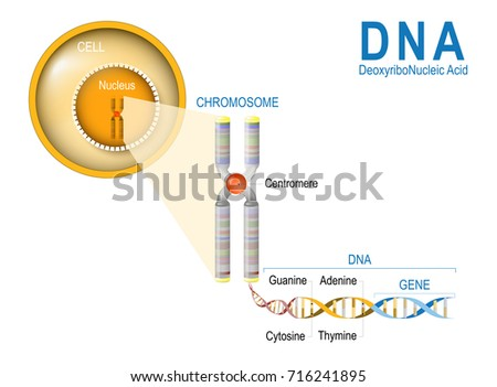 Cell chromosome dna gene cell structure stock illustration 716241895 cell chromosome dna gene cell structure stock illustration 716241895 shutterstock ccuart Image collections