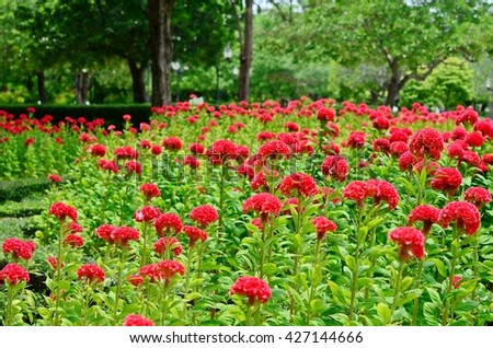 Celosia argentea, cockscomb, red flowers, flower meadow, fluffy flowers, flower in the park, red velvet-liked flower - stock photo