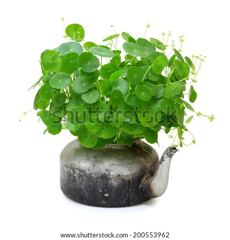 Centella asiatica in a pot isolated on a white background - stock photo