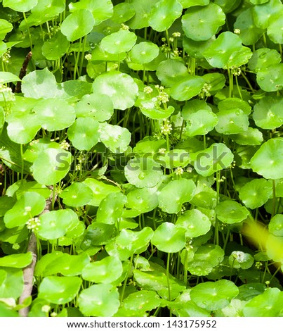 Centella asiatica is a  herb plant - stock photo