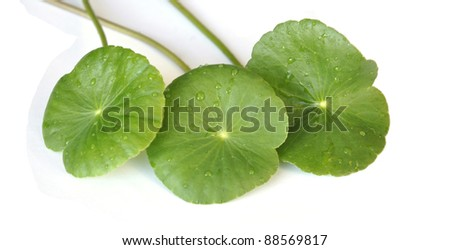 Centella asiatica isolated on white background - stock photo