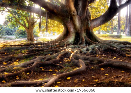 Centenarian tree with large trunk and big roots above the ground - stock photo