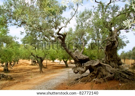 centennial olive trees from Mediterranean Mallorca island in Spain - stock photo