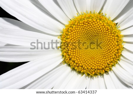 Center of Big Daisy flower with empty space on left - stock photo