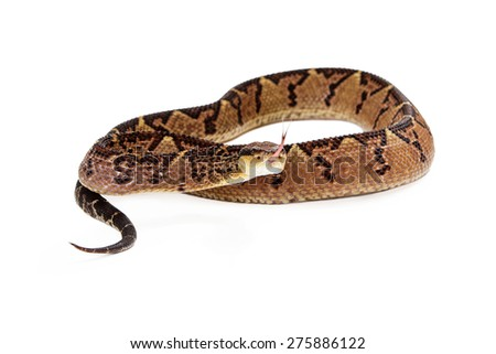 Central American Bushmaster, a venomous pit viper snake found mainly in Central America and South America. Snake is coiled up and looking into the camera with his forked tongue sticking out - stock photo