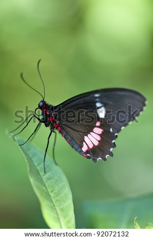 Central American Cattleheart Butterfly - stock photo