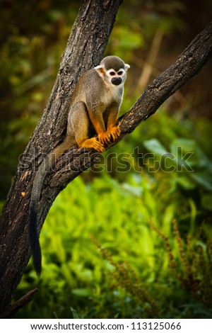 Central American squirrel monkeys - stock photo
