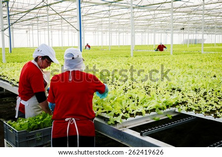 Central Area , CHILE- July 29, 2014.Women working manually industrial plant hydroponic lettuce. - stock photo