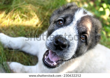 Central Asian Shepherd puppy laying on grass - stock photo
