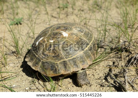 Central Asian tortoise (Agrionemys horsfieldii) crawling in the spring desert of the Western Kazakhstan