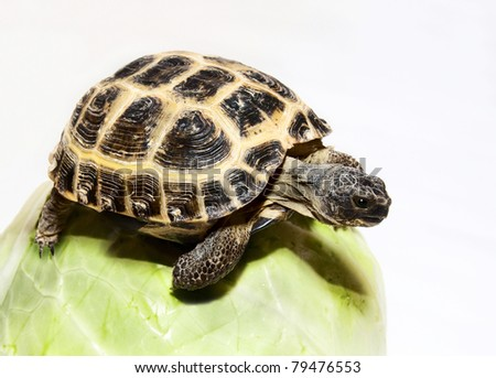 central asian turtle on cabbage - stock photo