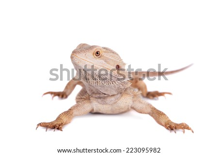 Central Bearded Dragon on white background - stock photo