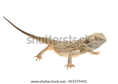 Central Bearded Dragon Pogona vitticep isolated over white - stock photo