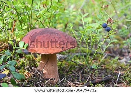 Cep (Boletus Edulis) mushroom at the forest - stock photo