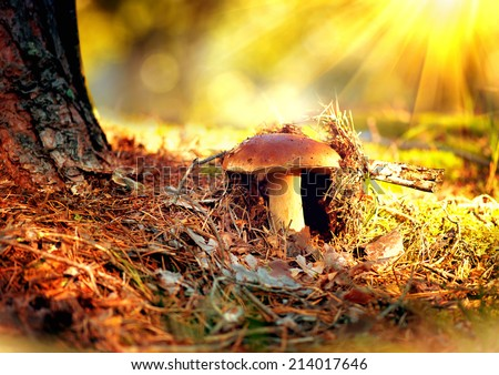 Cep Mushroom Growing in Autumn Forest. Boletus growing under the tree. Mushroom picking  - stock photo