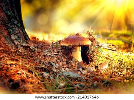 Cep Mushroom Growing in Autumn Forest. Boletus growing under the tree. Mushroom picking  - stock photo