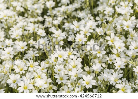 Cerastium biebersteinii DC. (Boreal chickweed) is an ornamental plant of the Caryophyllaceae family.