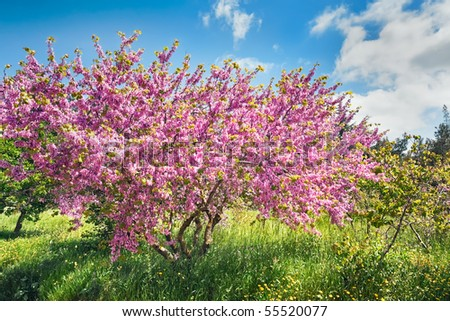 Cercis, blossoming on a wood glade near to border of Israel and Lebanon - stock photo