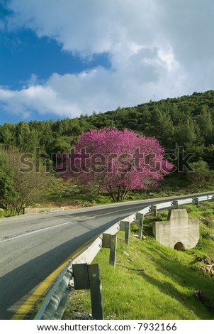 Cercis tree in full rose bloom and a winding road - stock photo
