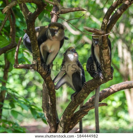 Cercopithecus mona, Ghanaian monkey on the tree