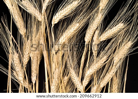 cereal crop on black background - stock photo