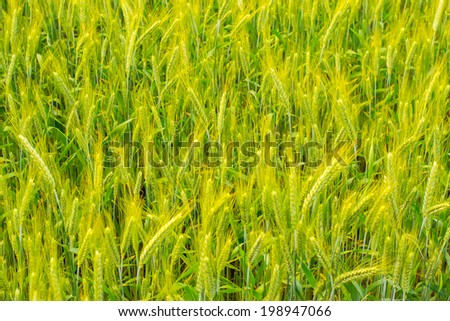 Cereal on the meadow - stock photo
