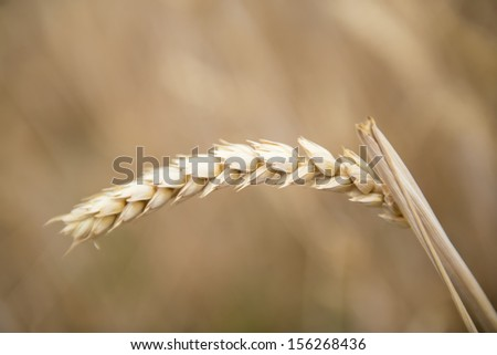 Cereal plants in a crop for the agriculture industry - stock photo