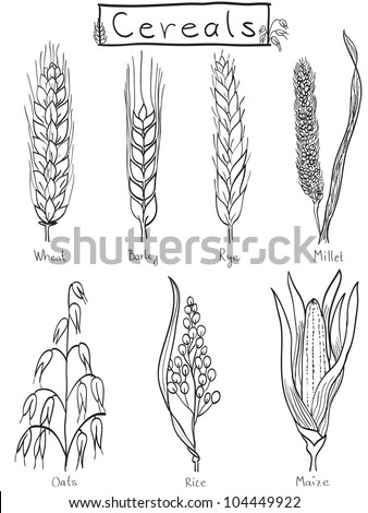 Cereals hand-drawn illustration - wheat, barley, rye, millet, oat, rice, maize - stock photo