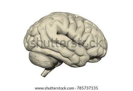 cerebral cortex 3d rendering