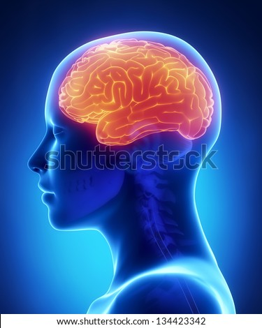 Cerebrum - female brain anatomy lateral view - stock photo